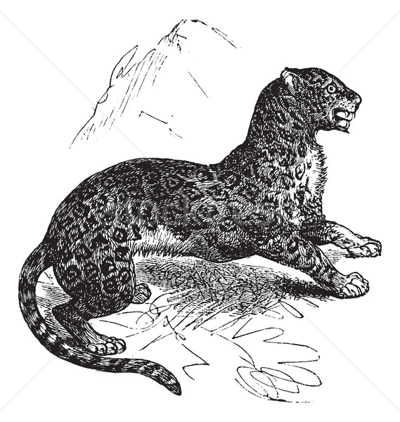 Jaguar or Panthera onca vintage engraving Stock photo © Morphart
