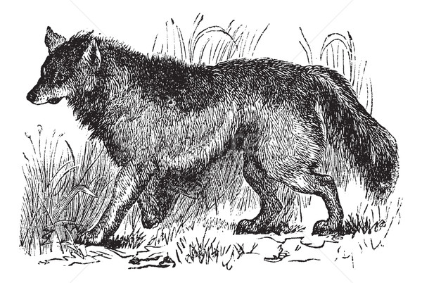 Coyote or Canis latrans vintage engraving Stock photo © Morphart
