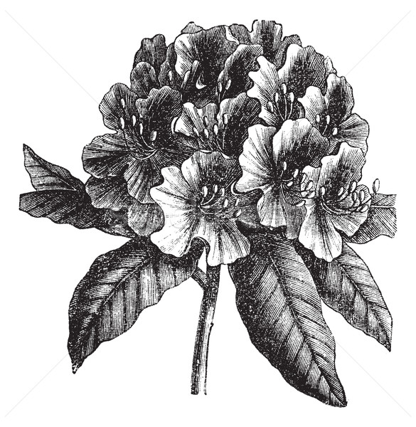 Catawba Rhododendron or Rhododendron catawbiense vintage engravi Stock photo © Morphart