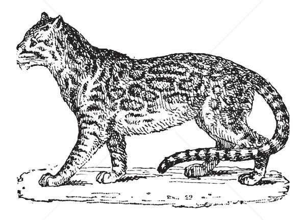 карлик Leopard Vintage иллюстрация Сток-фото © Morphart