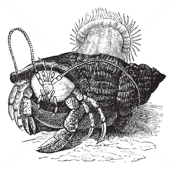 Hermit crab dragging Sea anemones, vintage engraving. Stock photo © Morphart