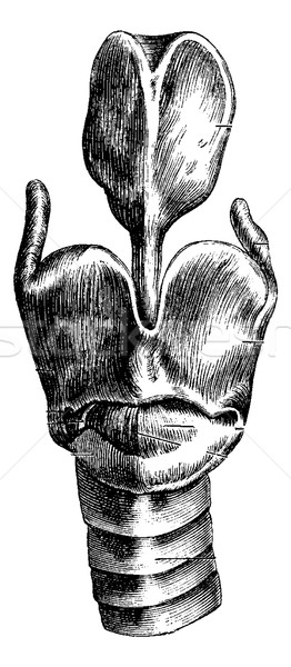 Anterior View of the Larynx, vintage engraving Stock photo © Morphart