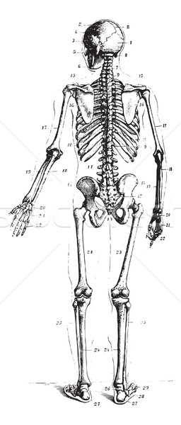 Skeleton, vintage engraving. Stock photo © Morphart