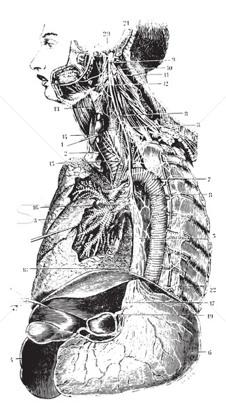 Sympathetic chain and the left vagus nerve, vintage engraving. Stock photo © Morphart