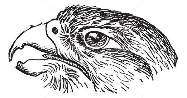 Falcon vintage inciso illustrazione dizionario Foto d'archivio © Morphart