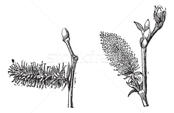 Willow or sallow vintage engraving Stock photo © Morphart