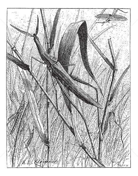 Nosed Grasshopper or Acrida hungarica, vintage engraving Stock photo © Morphart