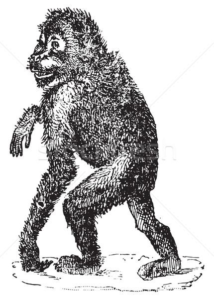 Orangutan bağbozumu oyma oyulmuş örnek sözlük Stok fotoğraf © Morphart