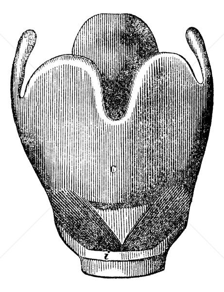 Strottehoofd anatomie vintage gegraveerd illustratie Stockfoto © Morphart