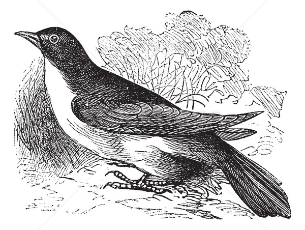 Yellow-billed Cuckoo or Rain Crow or Storm Crow or Coccyzus amer Stock photo © Morphart