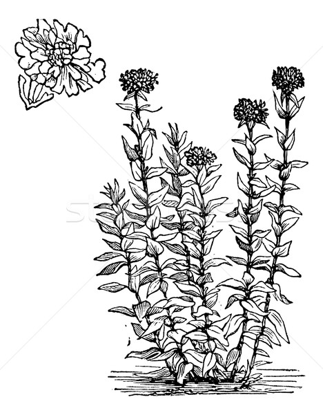 Jerusalem Cross flower or Lychnis chalcedonica vintage engraving Stock photo © Morphart