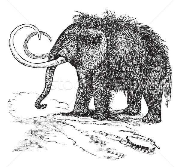 Woolly mammoth or Mammuthus primigenius vintage engraving Stock photo © Morphart