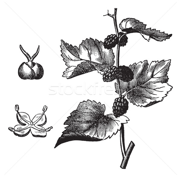 Black mulberry (Morus nigra), vintage engraving Stock photo © Morphart