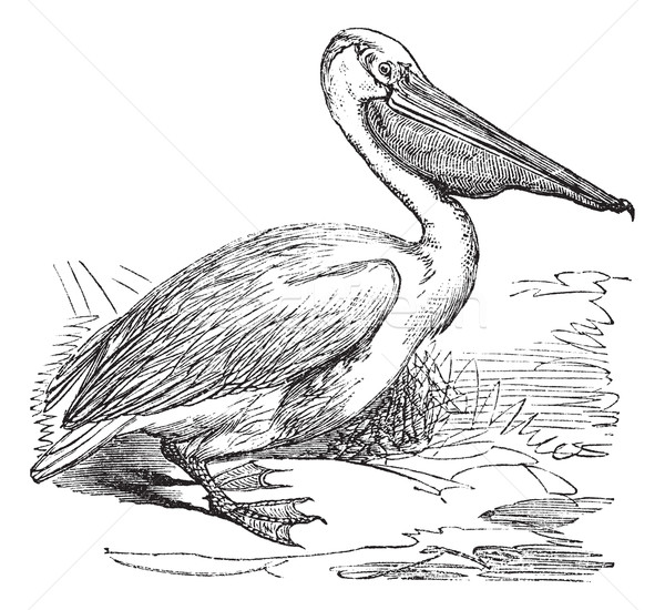 Great White Pelican or Eastern White Pelican or Pelecanus onocro Stock photo © Morphart