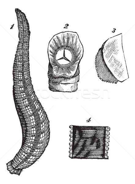 Medicinal leech or Hirudo medicinalis vintage engraving Stock photo © Morphart