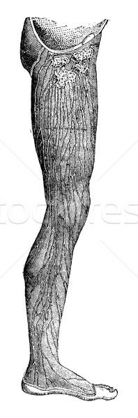 Superficial lymphatic vessels of the lower limb, vintage engravi Stock photo © Morphart