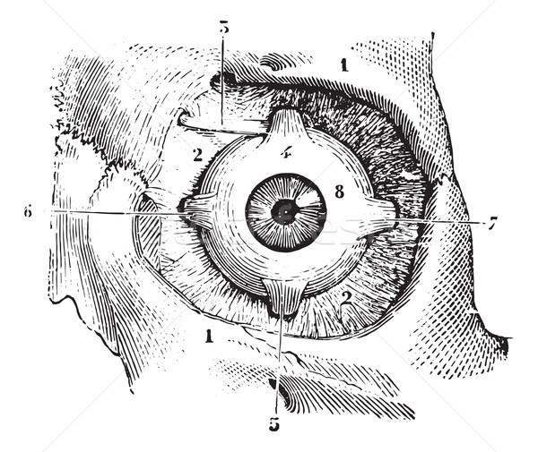 Eye muscles and fascia orbitofrontal palpebra eye, vintage engra Stock photo © Morphart