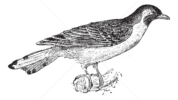 Greater Honeyguide or Indicator indicator vintage engraving Stock photo © Morphart