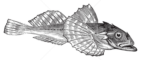 Bullhead fish or Acanthocottus Virginianus Stock photo © Morphart