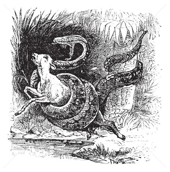 Boa constrictor, snake, vintage engraving. Stock photo © Morphart