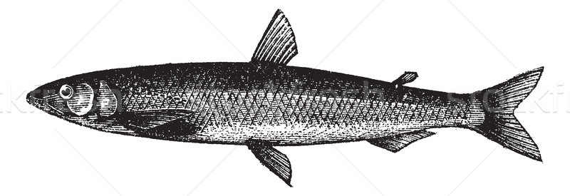 Smelt or European Smelt or Osmerus eperlanus, vintage engraving Stock photo © Morphart
