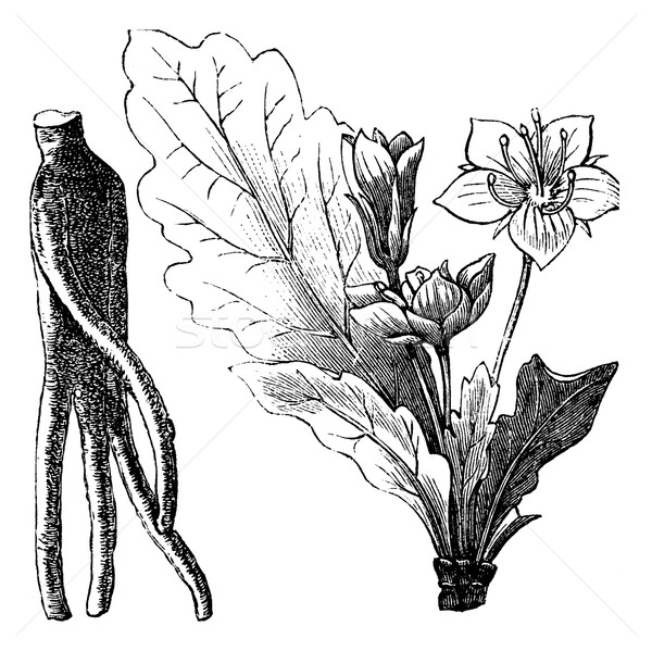 Mandrake root or Mandragora officinarum vintage engraving Stock photo © Morphart