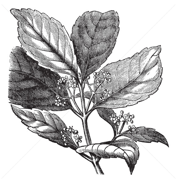 Yerba mate or Ilex paraguariensis vintage engraving Stock photo © Morphart