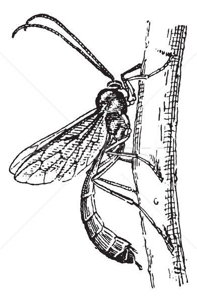 Ichneumon wasp or Ichneumon vintage engraving Stock photo © Morphart