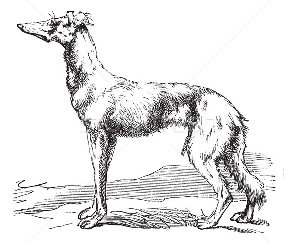Persian Greyhound vintage engraving Stock photo © Morphart