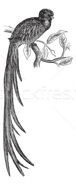 Resplendent Quetzal or Pharomachrus mocinno vintage engraving Stock photo © Morphart