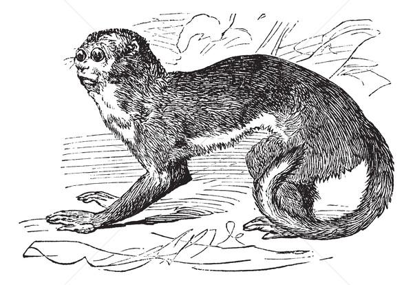 Night monkey or Owl Monkeys or Douroucouli or Aotus sp., vintage Stock photo © Morphart