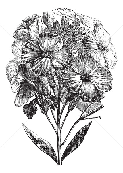 Aegean wallflower or Erysimum cheiri vintage engraving Stock photo © Morphart