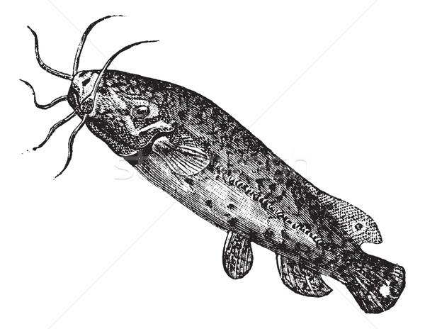 Electric catfish or Malapterurus electricus vintage engraving Stock photo © Morphart