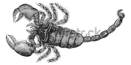 Black Scorpion (Scorpio afer), vintage engraving. Stock photo © Morphart