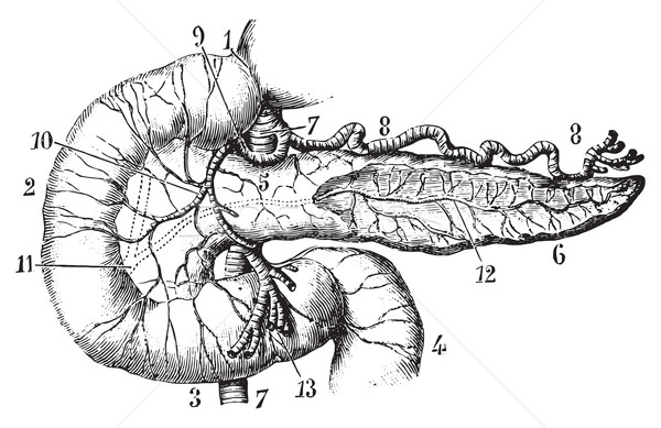 Pancreas and duodenum seen by their anterior aspect, vintage eng Stock photo © Morphart