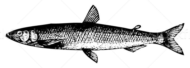 Oude europese vis gegraveerd illustratie Stockfoto © Morphart