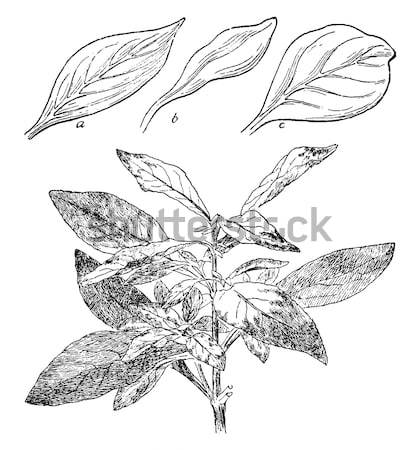 Cocaine or Coca or Erythroxylum coca vintage engraving Stock photo © Morphart