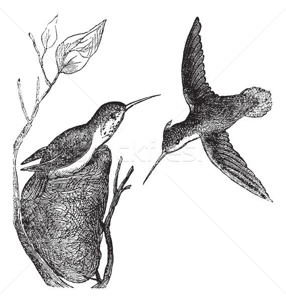 Rufous Hummingbird or Selasphorus rufus vintage engraving Stock photo © Morphart