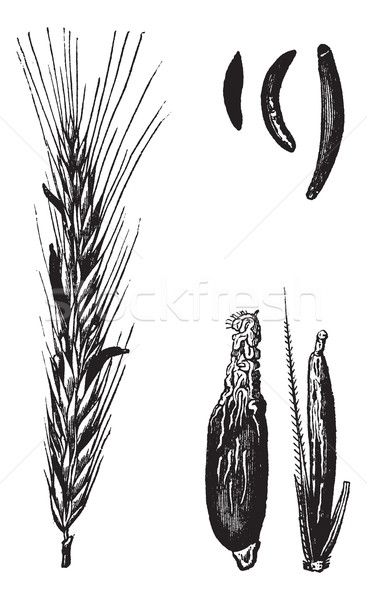 Rye or Secale cereale, vintage engraved illustration Stock photo © Morphart