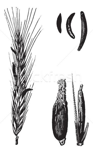 çavdar bağbozumu oyulmuş örnek ansiklopedi gıda Stok fotoğraf © Morphart