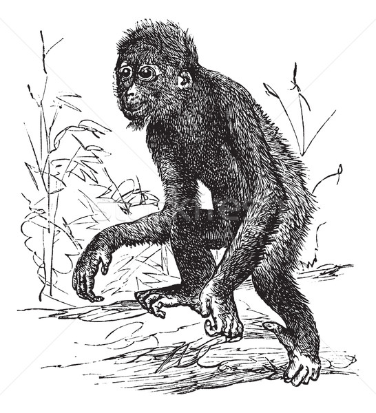 Orangutan or Pithecus satyrus, vintage engraving Stock photo © Morphart