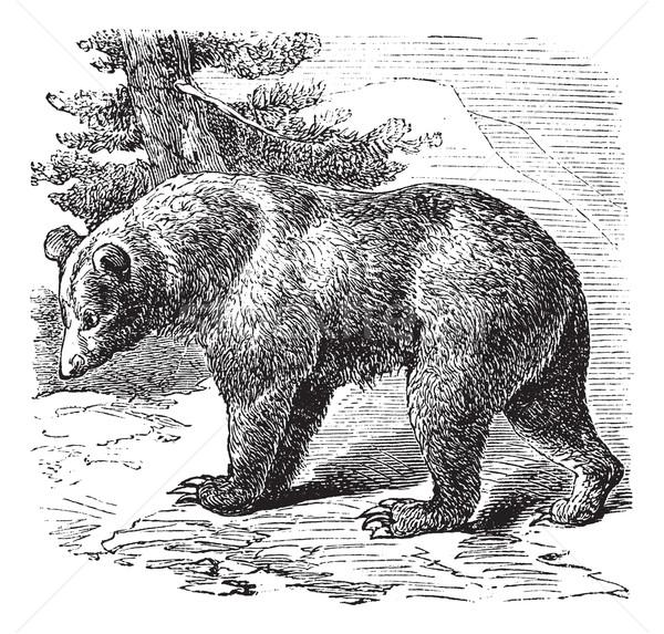 Cinnamon Bear (Ursus occidentalis), vintage engraving Stock photo © Morphart