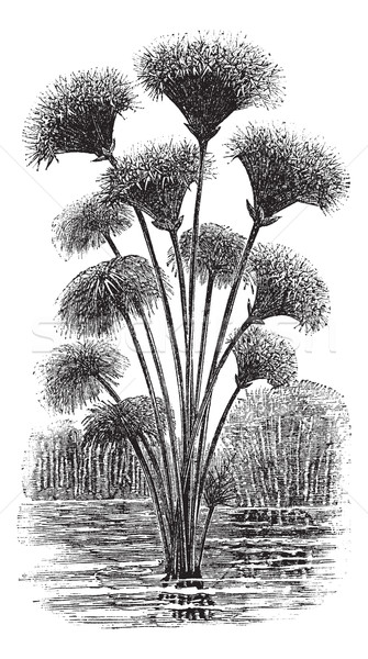 Papyrus sedge or Cyperus papyrus vintage engraving Stock photo © Morphart