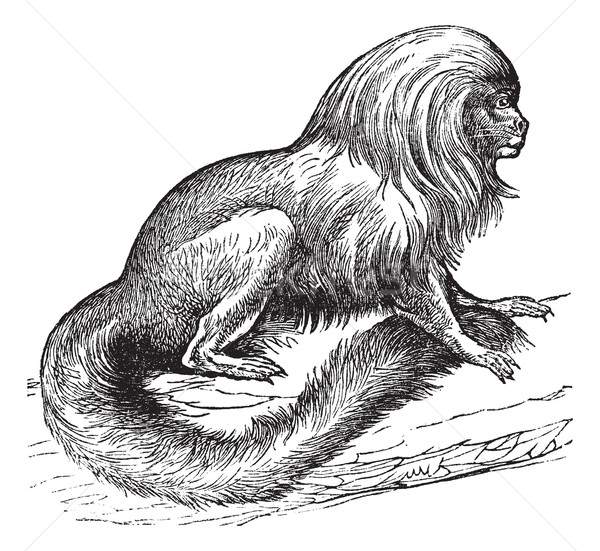 Tamarin marikiva (Midas rosalia), vintage engraving. Stock photo © Morphart