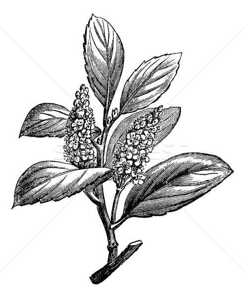 Cherry Laurel or Prunus laurocerasus, vintage engraving Stock photo © Morphart