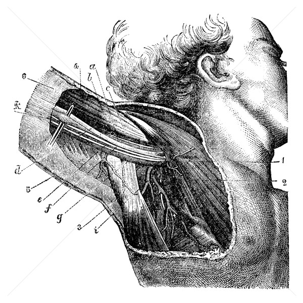 Region of the armpit, vintage engraving. Stock photo © Morphart