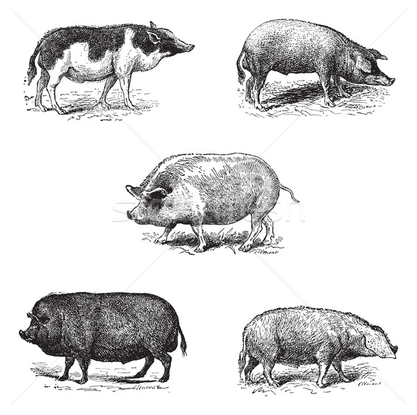 Pigs 1. Pig Siam. 2. Szalonta pig race. 3. Swine York. 4. Pork E Stock photo © Morphart