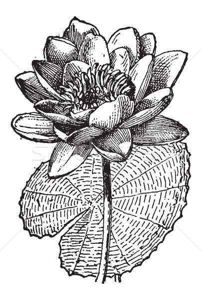 White Lotus or Nymphaea alba, vintage engraving Stock photo © Morphart