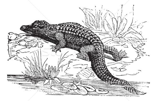 Crocodil epocă vechi gravate ilustrare Imagine de stoc © Morphart