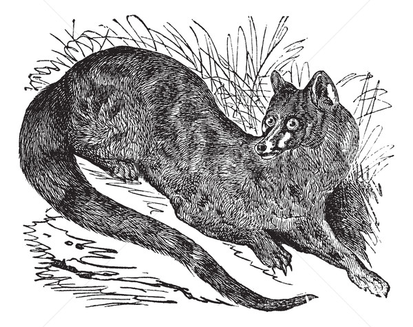 Common Genet or Genetta genetta vintage engraving Stock photo © Morphart
